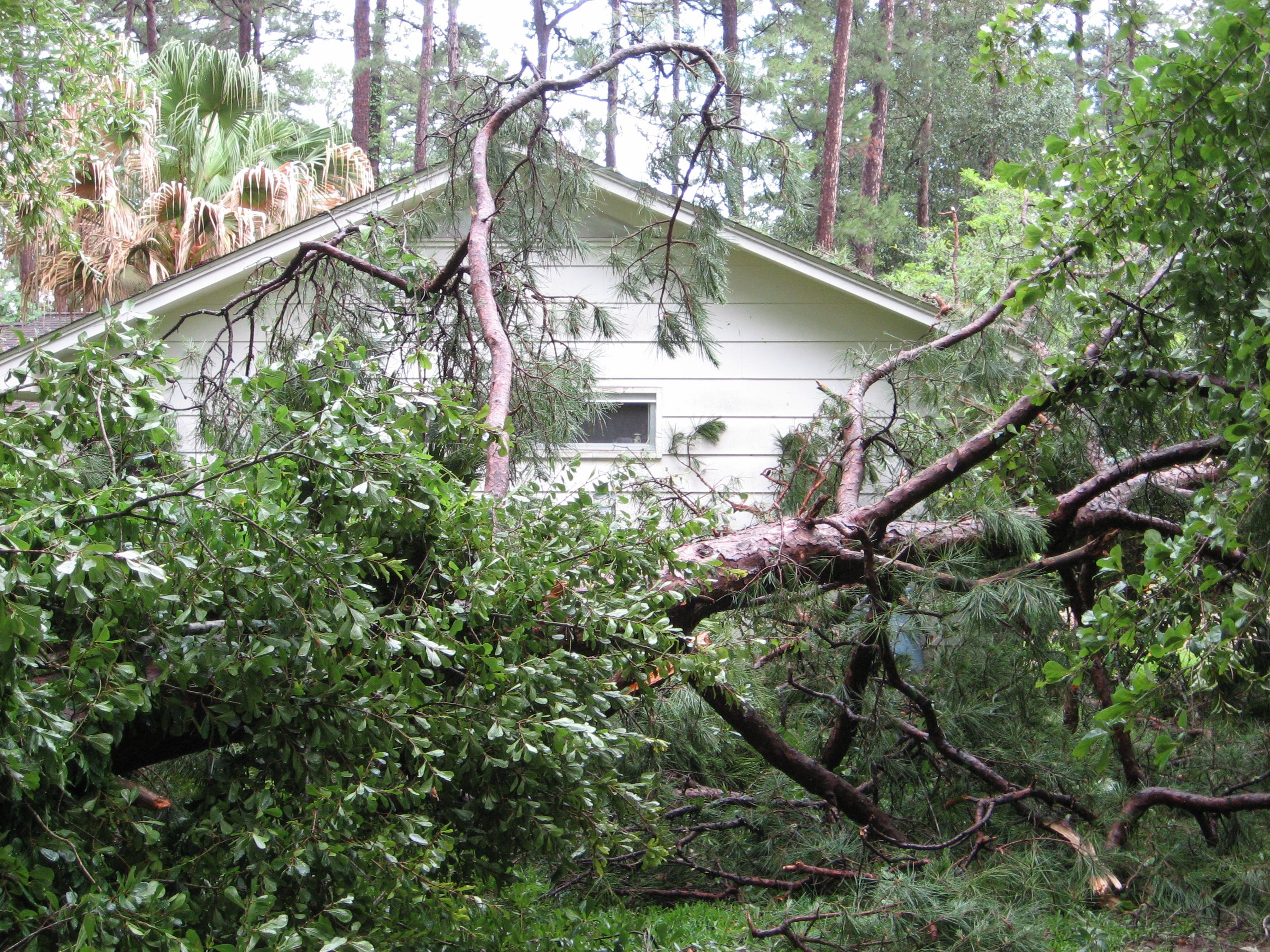 After a storm in 2011, this large pine in our neighbor's backyard just barely missed my studio.